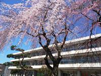 ブログ 桜.jpg