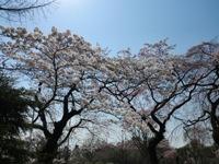 プラザの桜.JPG