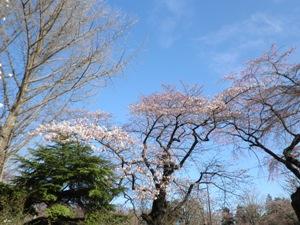 桜も咲きました.jpg
