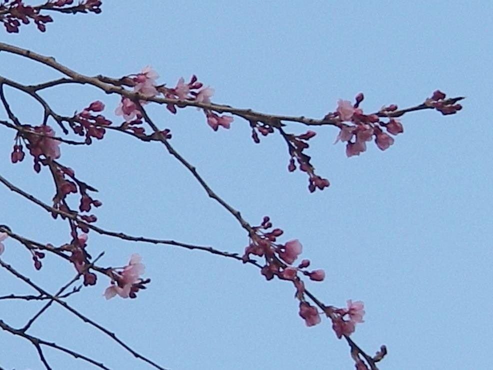 桜(花1).jpg