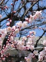 梅八分咲き.JPG