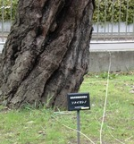 標本木.jpg