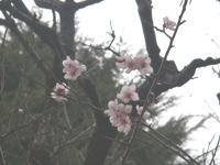09.03.25撮影 梅(3)小.JPG