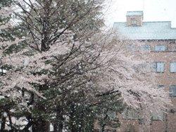 13.04.21 桜と雪.jpg