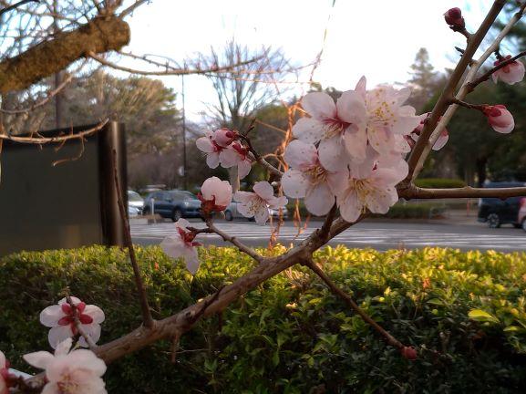 20.03.18 梅の花①.jpg
