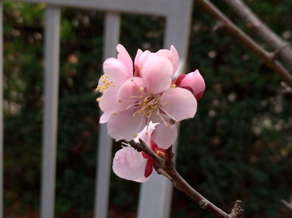 20.03.18 梅の花②.jpg
