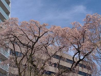 20.04.02 桜①.jpg
