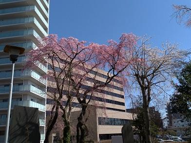 20.04.03 東側の桜.jpg