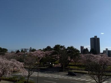 20.04.03 3階からの桜.jpg