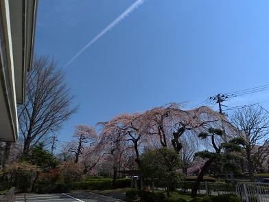 20.04.12 桜②.jpg