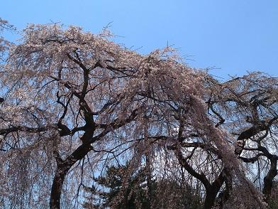 20.04.12 桜④.jpg