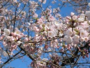 H24の桜.jpg